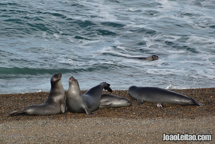 Elephant Seals fighting in Valdes Peninsula Argentina
