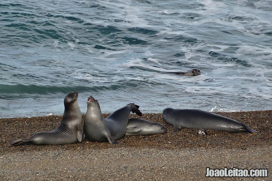 Photo of ELEPHANT SEALS fighting in Valdes Peninsula, Argentina