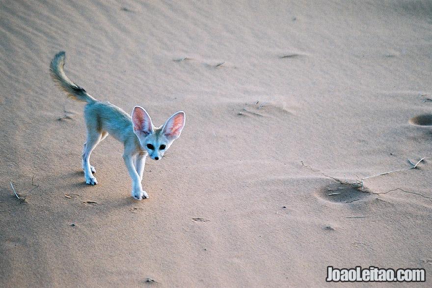 Photo of FENNEC FOX from Sahara Desert, Morocco