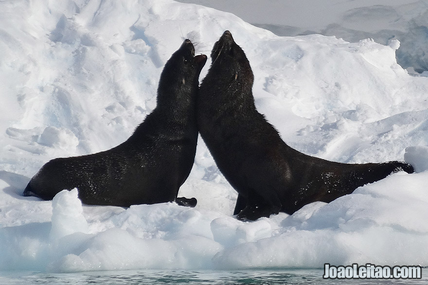 Fur Seals Fight in Antarctica