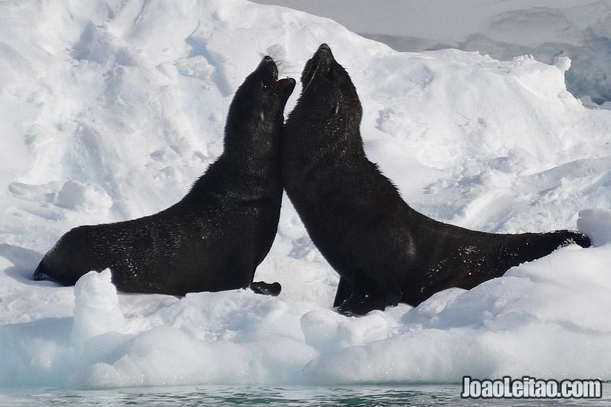 Photo of FUR SEALS fighting on top of ice block in Antarctica