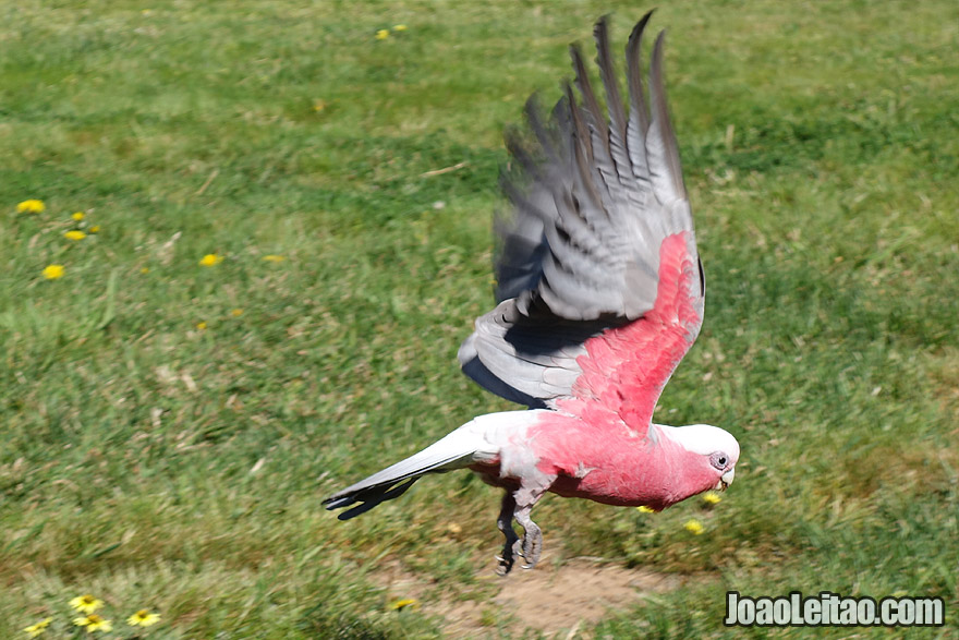 Photo of GALAH or ROSE BREASTED COCKATOO in Canberra, Australia