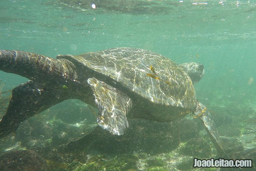 Galapagos Green Turtle Ecuador
