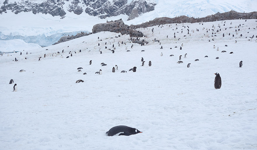 Gentoo penguin colony in Neko Harbour