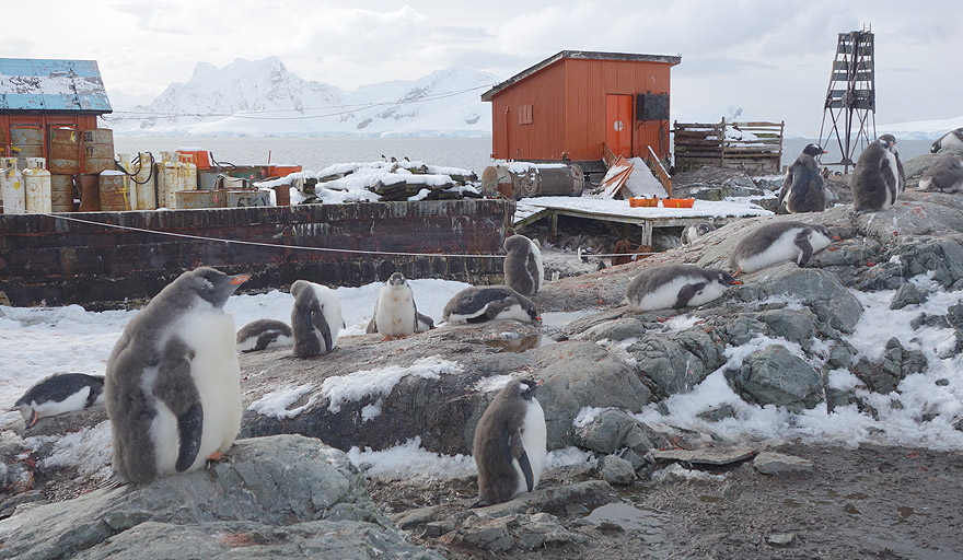 Gentoo penguin colony in Paradise Harbour