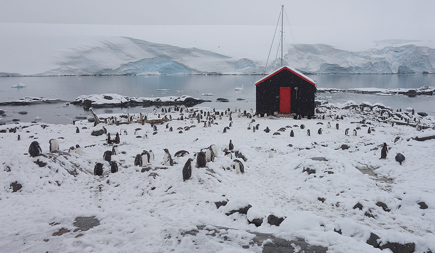 Gentoo penguin colony in Goudier Island