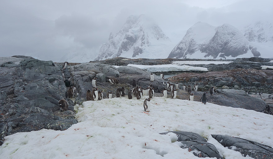 Gentoo penguin colony in Petermann Island