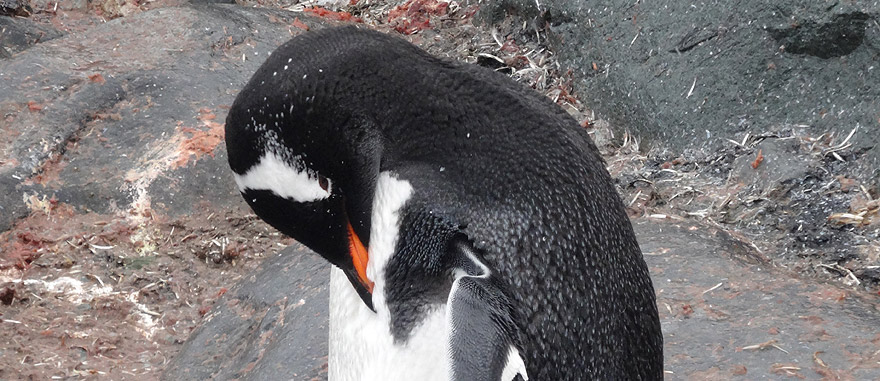 Gentoo penguin preening in Petermann Island