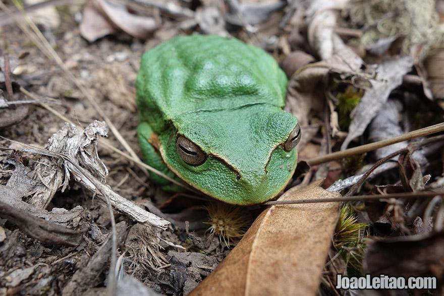 Green Tree Frog in Pueblo de los Muertos Peru