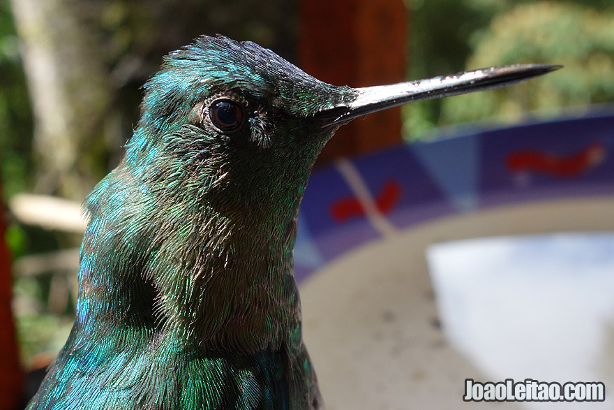 Photo of amazing HUMMINGBIRD in Cocora Valley, Colombia
