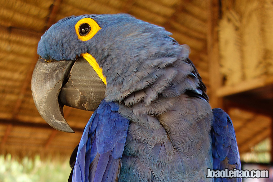 Photo of wounded blue HYACINTH MACAW in an Animal rescue center, Brazil