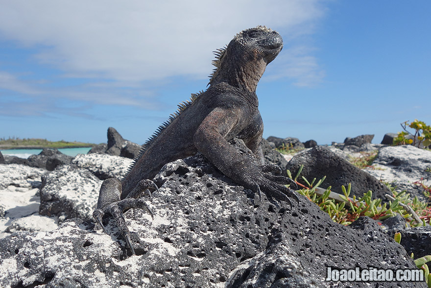 Iguana getting some Sun on the beach in Galapagos Islands, Ecuador
