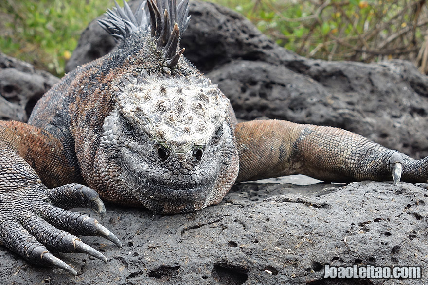 Iguana in Galapagos Islands, Ecuador