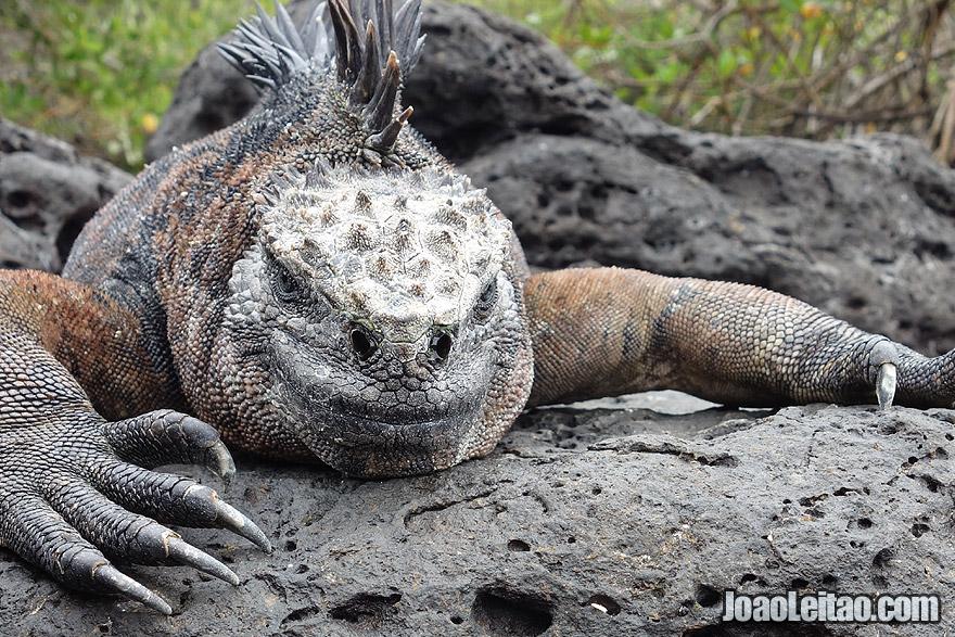 Photo of MARINE IGUANA in Galapagos Islands, Ecuador