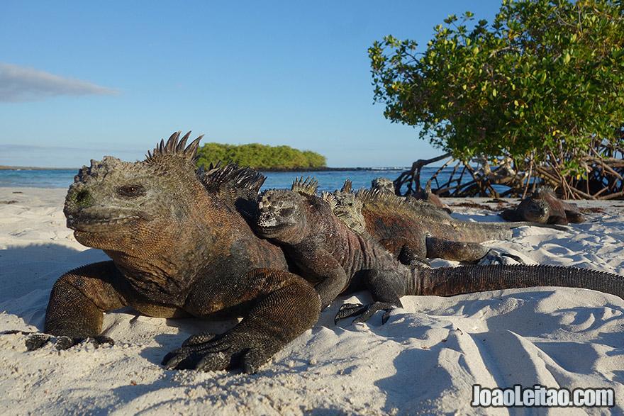 Photo of MARINE IGUANA family on the beach in Galapagos Islands, Ecuador