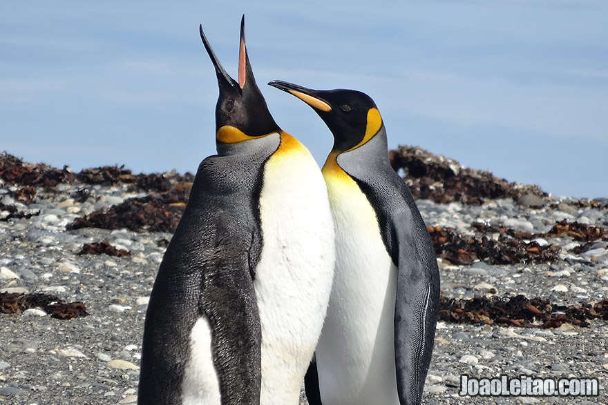 Photo of KING PENGUINS in Tierra del Fuego, Chile