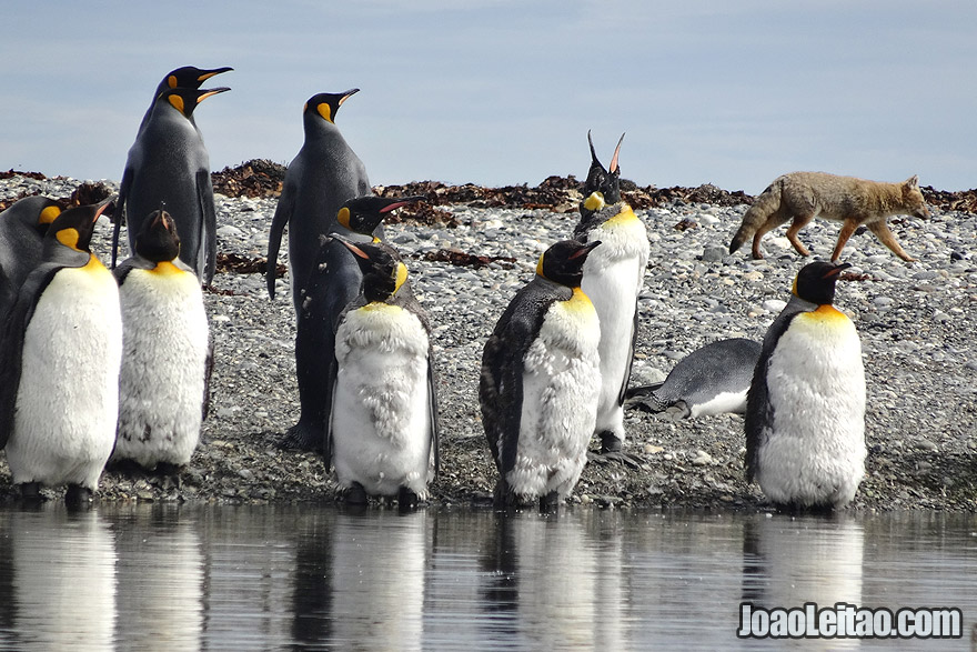 Photo of FOX trying to hunt a KING PENGUIN in Tierra del Fuego, Chile