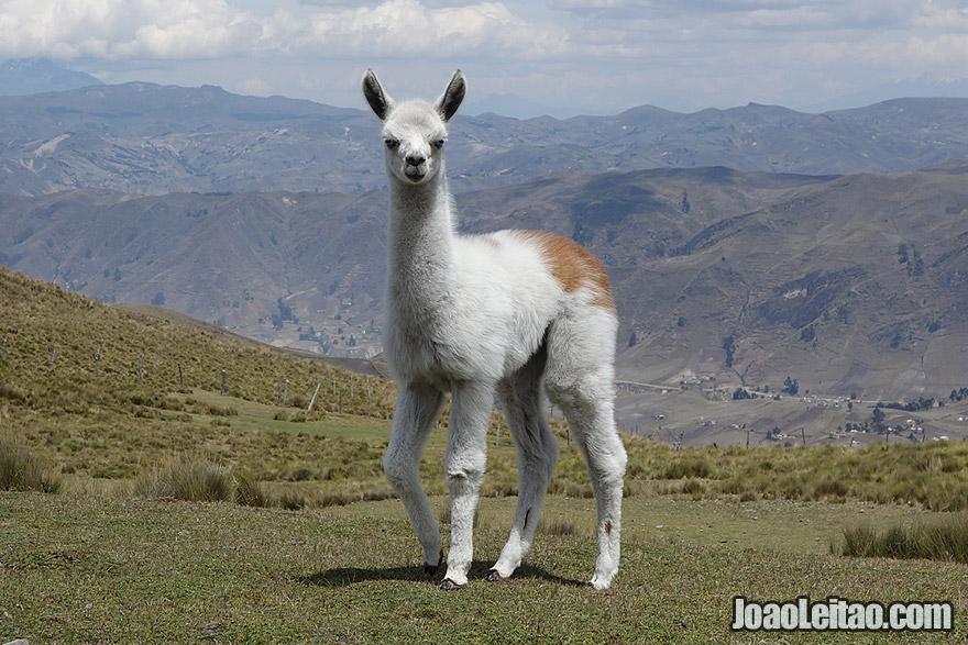 Baby LAMA in the Andes Mountains, Ecuador.