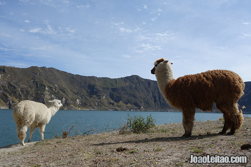 Photo of baby and mother LAMA in Quilotoa crater lake, Ecuador