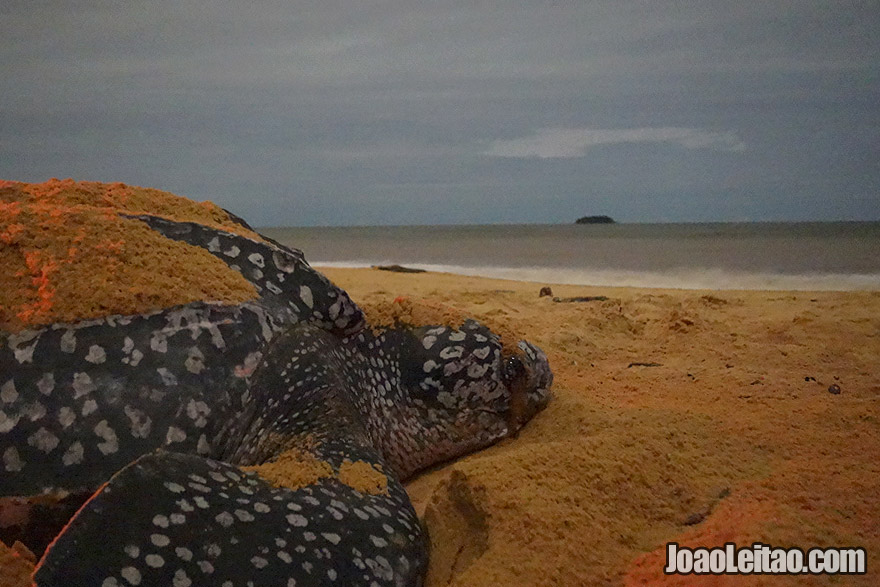 Photo of LEATHERBACK SEA TURTLE on the beach in Cayenne, French Guiana