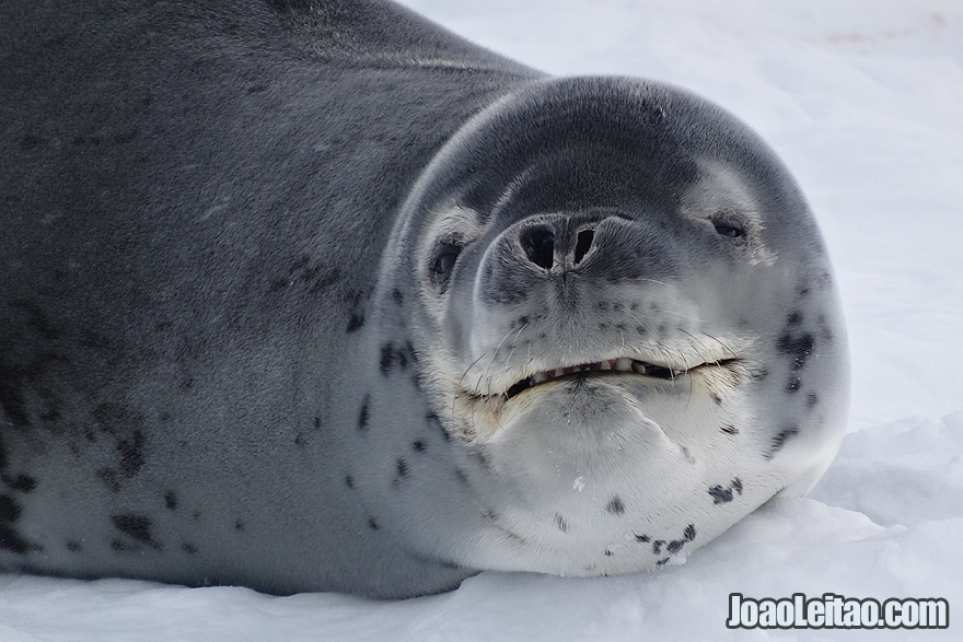 Photo of LEOPARD SEAL smiling in Antarctica