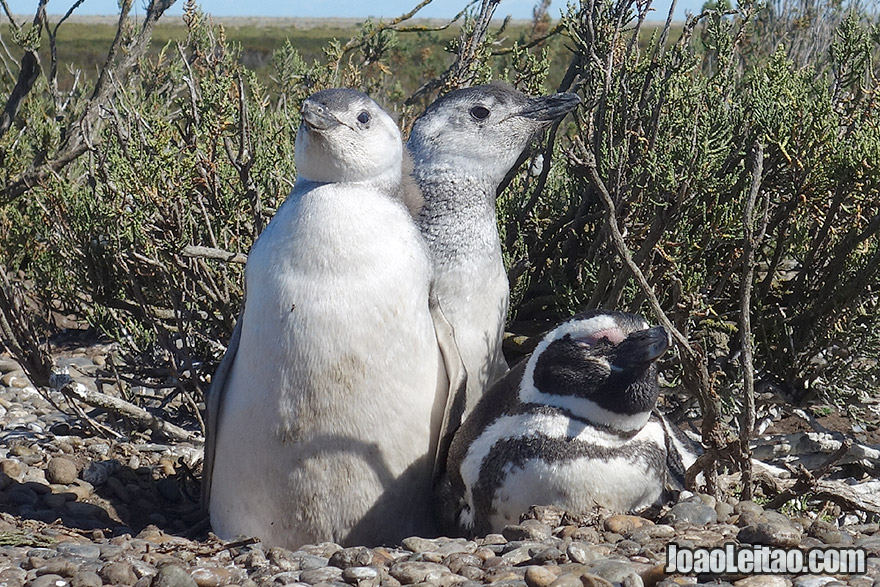 Magellanic Penguins, Two Babies and Mother in Patagonia Argentina