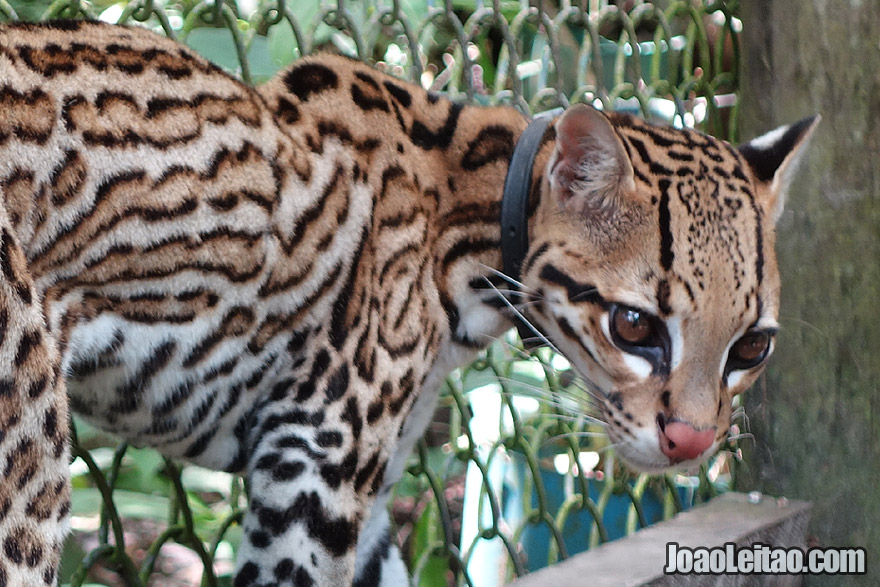 Photo of wounded OCELOT being treated in an Animal Sanctuary and rescue center, Peru