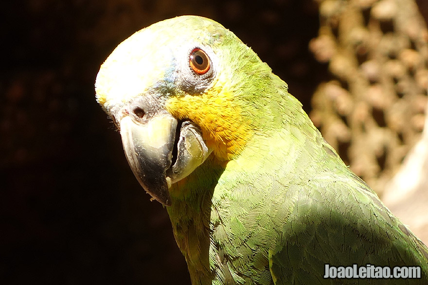 Photo of ORANGE WINGED AMAZON PARROT, Brazil