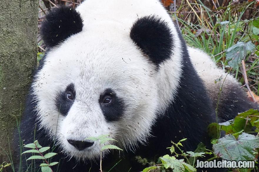Photo of fluffy PANDA, China