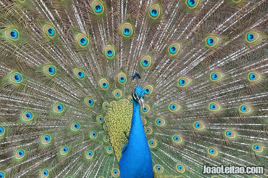 Photo of gorgeous PEACOCK in Australia