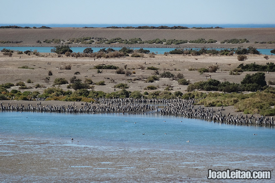 Penguin Colony in Valdes Peninsula Argentina