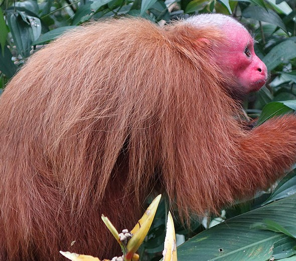 Bald Uakari or red faced monkey in Padre Cocha, Peruvian rain forest