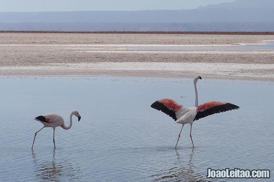 Pink Flamingos in Atacama Desert Chile