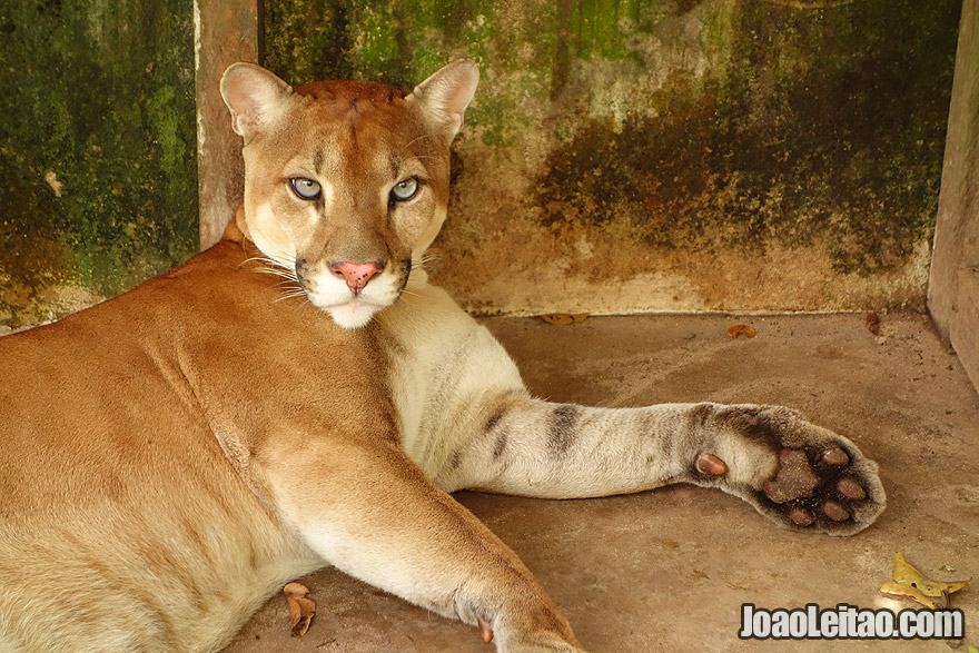 Orphan Puma or Cougar in animal rescue center in the Brazilian Amazon Forest