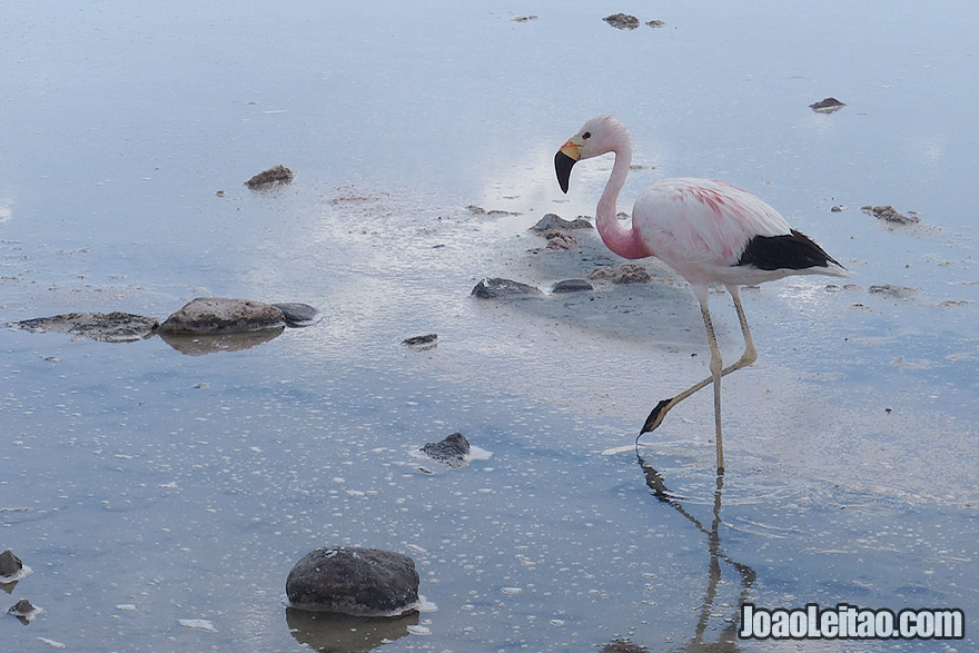 Photo of Flamingo in Salt Lake of Salar de Atacama Desert Chile
