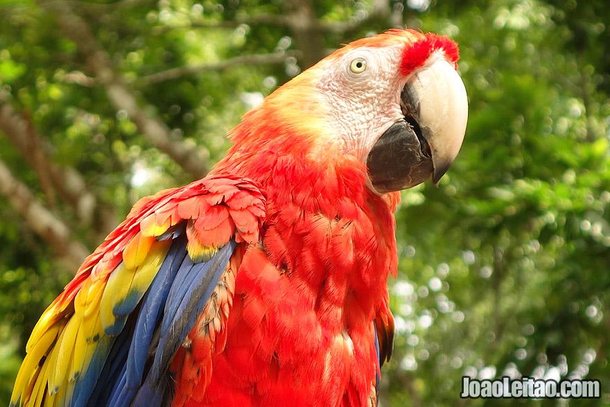 Photo of beautiful SCARLET MACAW, Honduras
