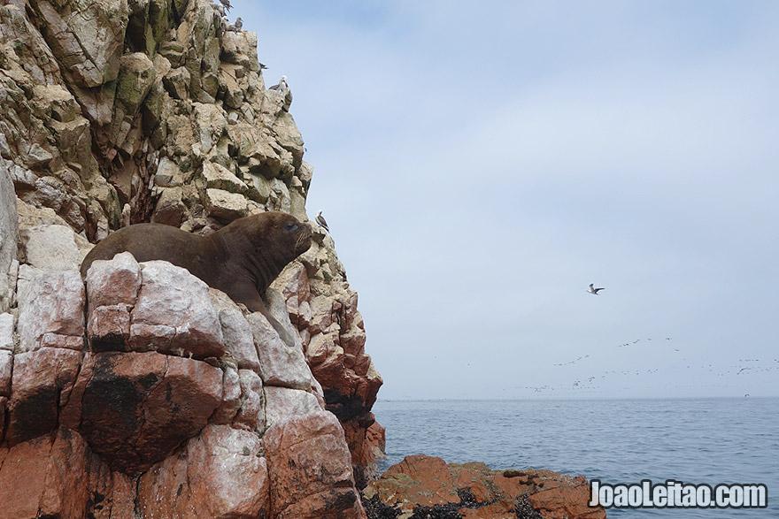 Photo of SEA LION in Ballestas Islands, Peru