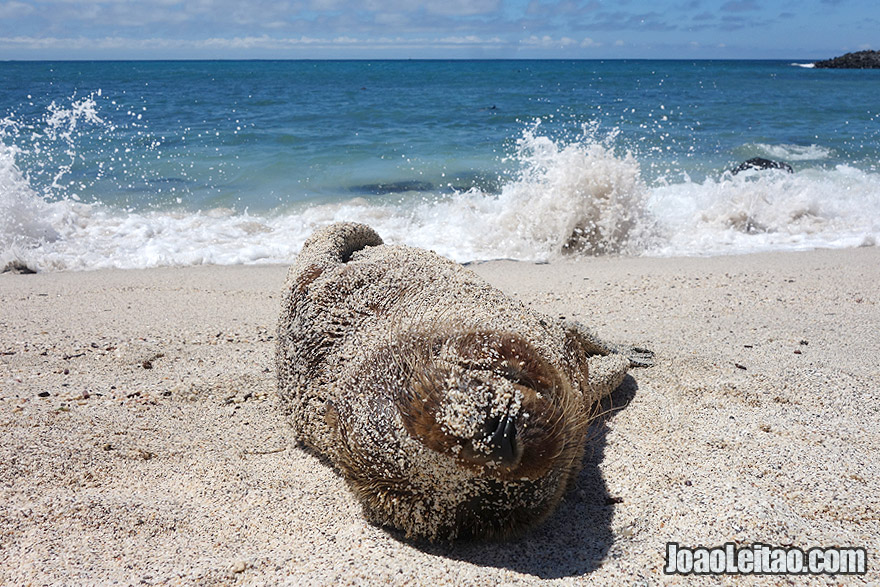 Adorable Baby Sea Lion covered with sand in Galapagos