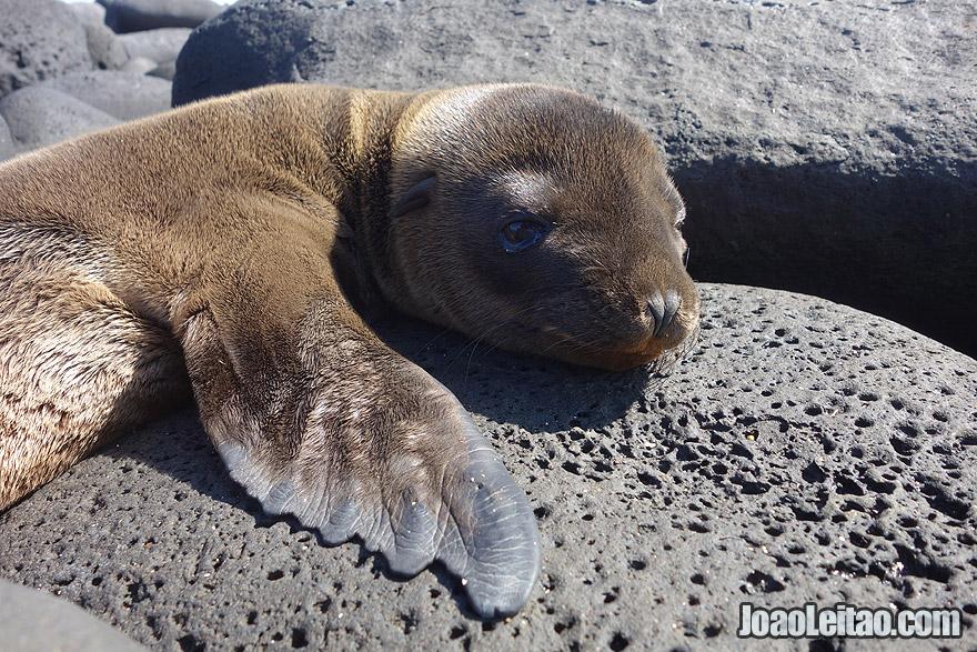 Photo of cute little baby SEA LION in Galapagos, Ecuador