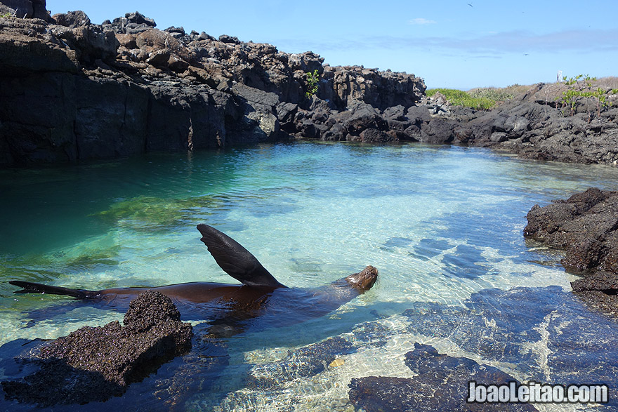 Sea Lion swimming in Galapagos