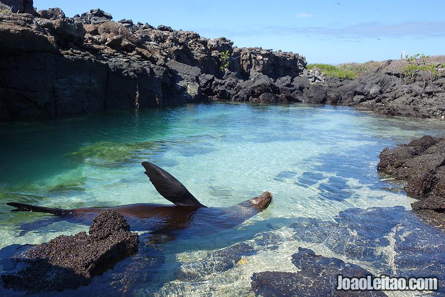 Photo of SEA LION swimming in Galapagos Islands, Ecuador