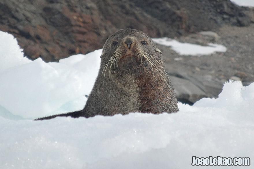 Photo of SEAL looking curious, Antarctica