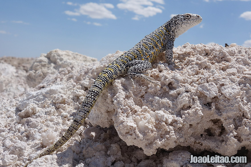 White Salt Flat Lizard in Atacama Chile
