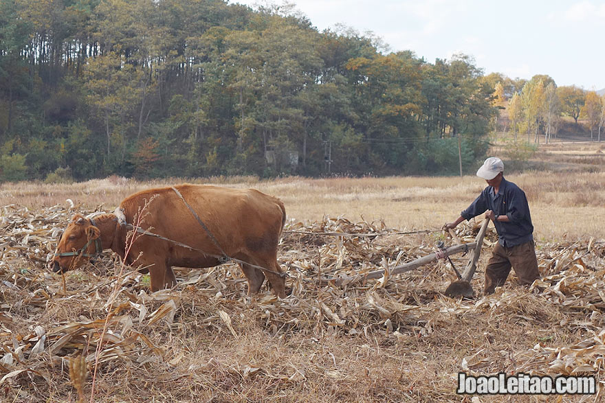 Agriculture is North Korea is booming, all the fields are harvested and cropped during the season. I was surprised with this scenario. Interesting on this picture we can see a traditional way of agriculture - with a cow pulling a plow like in Portugal, my country.