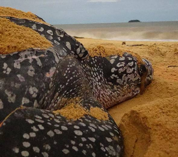 Turtle Watching Guiana