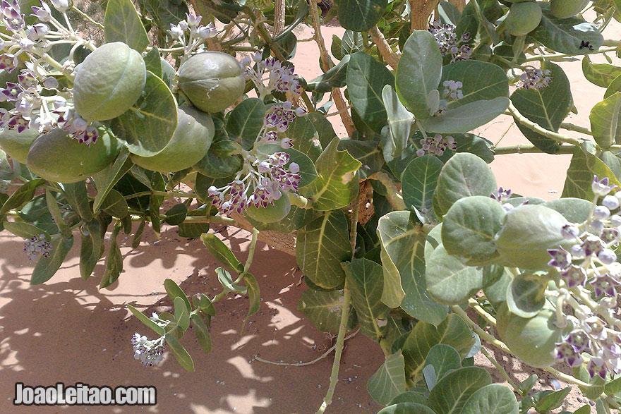 Sahara Desert vegetation