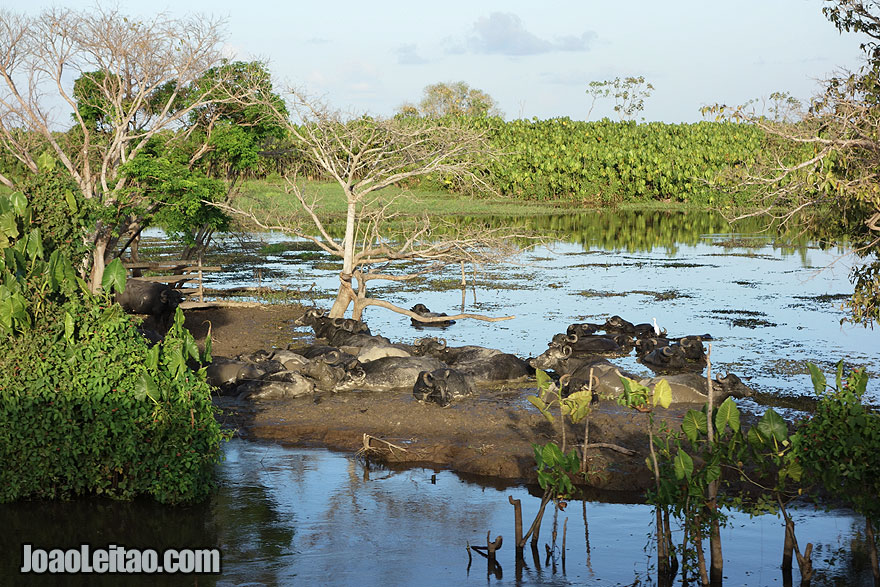 Buffaloes in the Amazon River bank