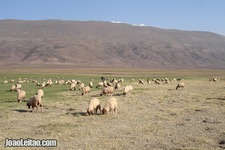 Sheep from nomads in the Atlas Mountains