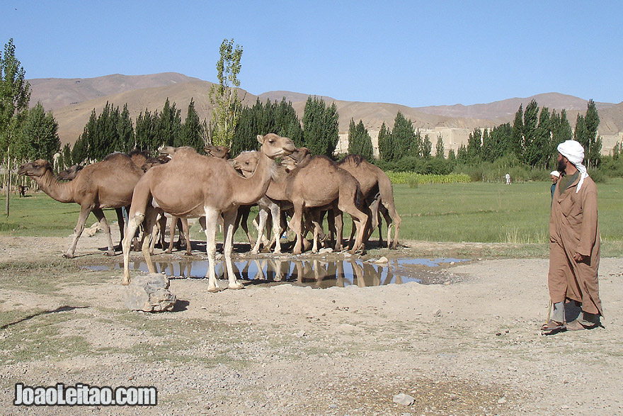 Camels in the Atlas Mountains of Morocco