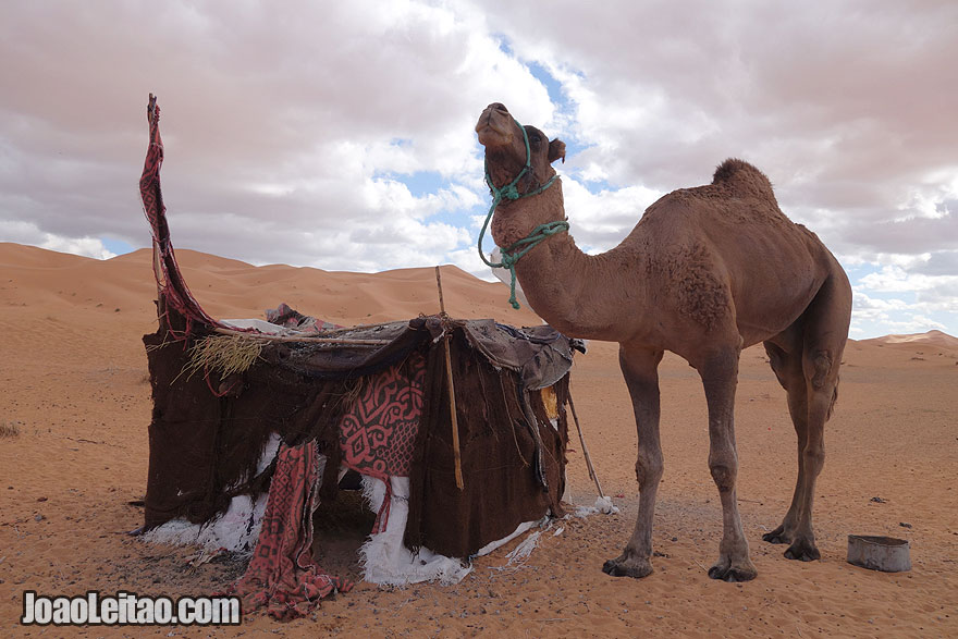 Camel and Tent in Sahara Desert